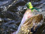 Gedde i overfladen - geddefluefiskeri