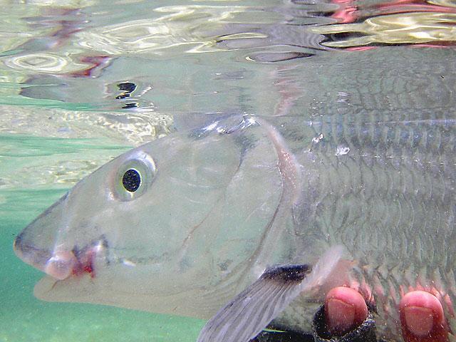 Abaco, Bahamas - bonefish