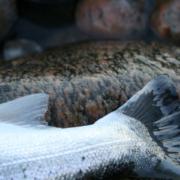 Kystfluefiskeri efter havørreder
