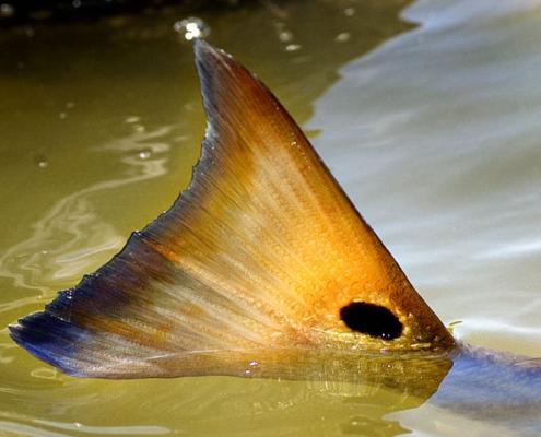 Fluefiskeri efter Redfish - Florida