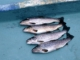 Fisketid i Wales