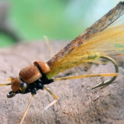 Adult-stone-fly-dry-fly-tying-instructions-by-Ruben-Martin