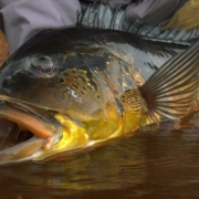 Jungle-Fly-Fishing-TRAILER-Peacock-Bass-Fishing-by-Todd-Moen