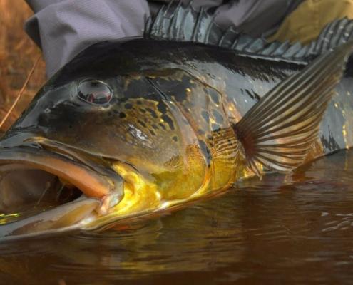 Jungle-Fly-Fishing-TRAILER-Peacock-Bass-Fishing-by-Todd-Moen