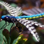 Realistic-Adult-Dragonfly-fly-tying-class-by-Ruben-Martin