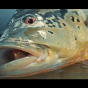 Agua-Boa-Amazon-Lodge-Fly-Fishing-For-Peacock-Bass-TRAILER