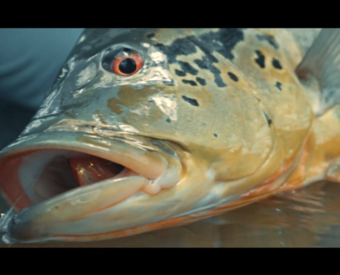 Agua-Boa-Amazon-Lodge-Fly-Fishing-For-Peacock-Bass-TRAILER