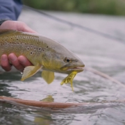 BTS-First-Brown-Trout-To-Eat-The-Bucknasty-Yellow-Mouse