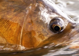 Carp-fishing-with-dry-flies-Fly-Fishing-by-Todd-Moen
