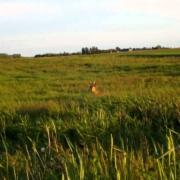 Stirnino-viliojimas-2012-05-30-Roe-buck-calling