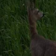roebuck-hunting-1.mpg