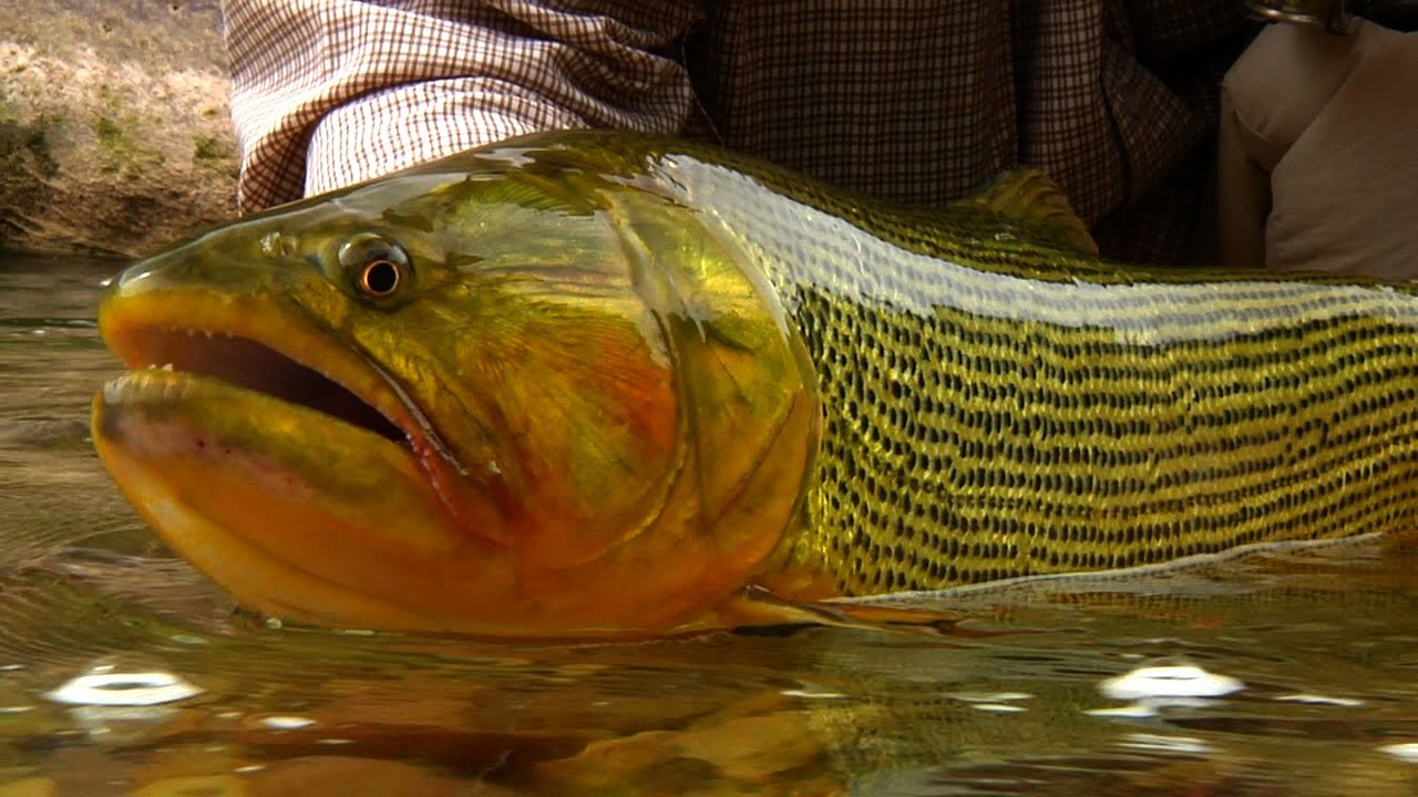 Golden-Dorado-Fishing-by-Todd-Moen
