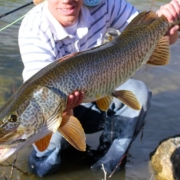 Huge-Tiger-Muskie-on-the-Fly