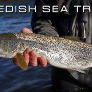 Swedish-Sea-Trout