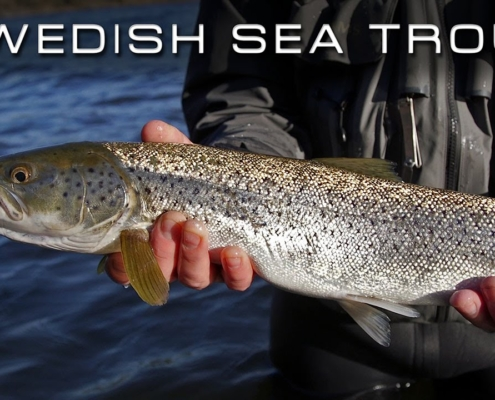 Swedish-Sea-Trout