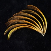 How-to-Form-Shape-your-Golden-Pheasant-Crest-Feathers-with-Davie-McPhail