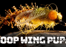Loop-Wing-Pupa-A-great-way-to-add-wing-buds-or-unfolding-wings-to-nymph-patterns