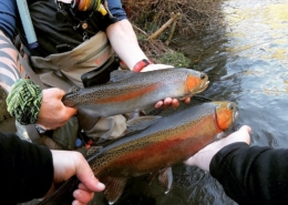 Fishing-for-Wild-Rainbow-Trout-2-fish-1-net