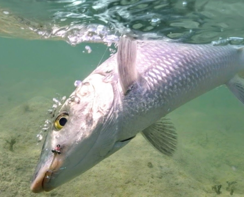 Fly-fishing-the-flats-for-Bone-Fish-Andros-Island
