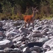 Great-footage-of-Red-Deer-hind-and-fawn-walking-right-up-us-to-while-fly-fishing