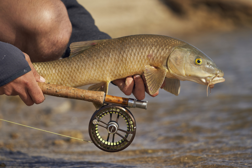 Fly fishing for barbel and carp