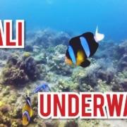 BALI-UNDERWATER-2019-BIG-CUTTLE-FISH-PUFFER-FISH