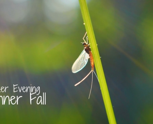 Summer-Evening-Spinner-Fall