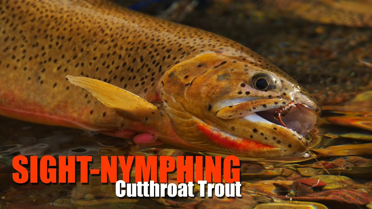 As-It-Happens-How-to-Sight-Nymph-Cutthroat-Trout-Streams