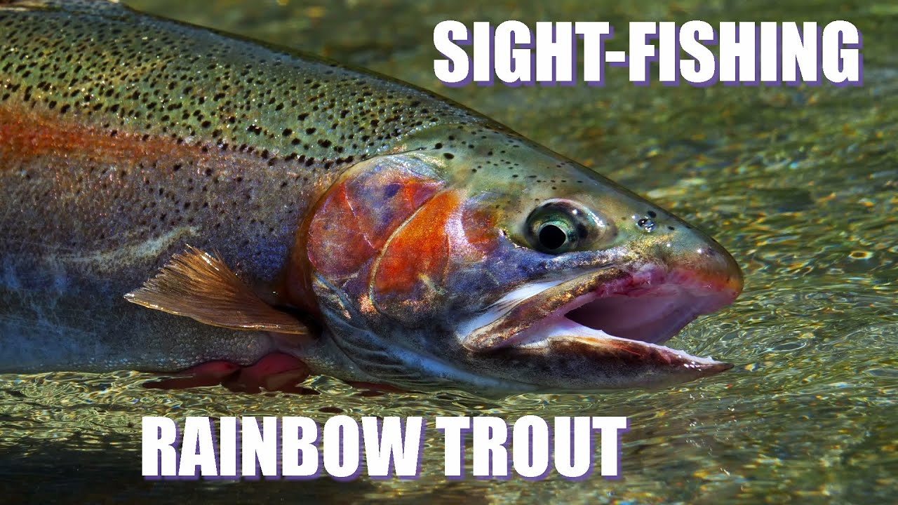 Sight-Fishing-Rainbow-Trout-on-the-Gravel-Treadmill