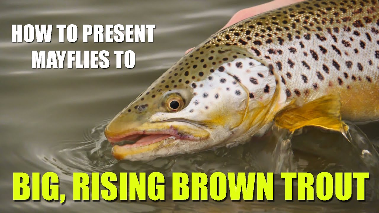 HOW-TO-present-mayflies-to-BIG-BROWN-TROUT-on-flat-water