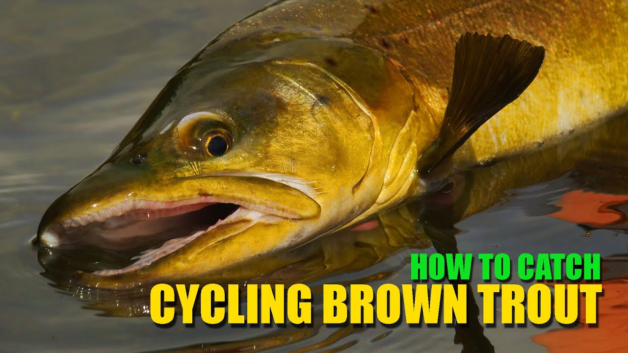 How-to-Fly-Fish-Trout-Streams-Intercepting-a-Cycling-Spring-Creek-Brown-Trout