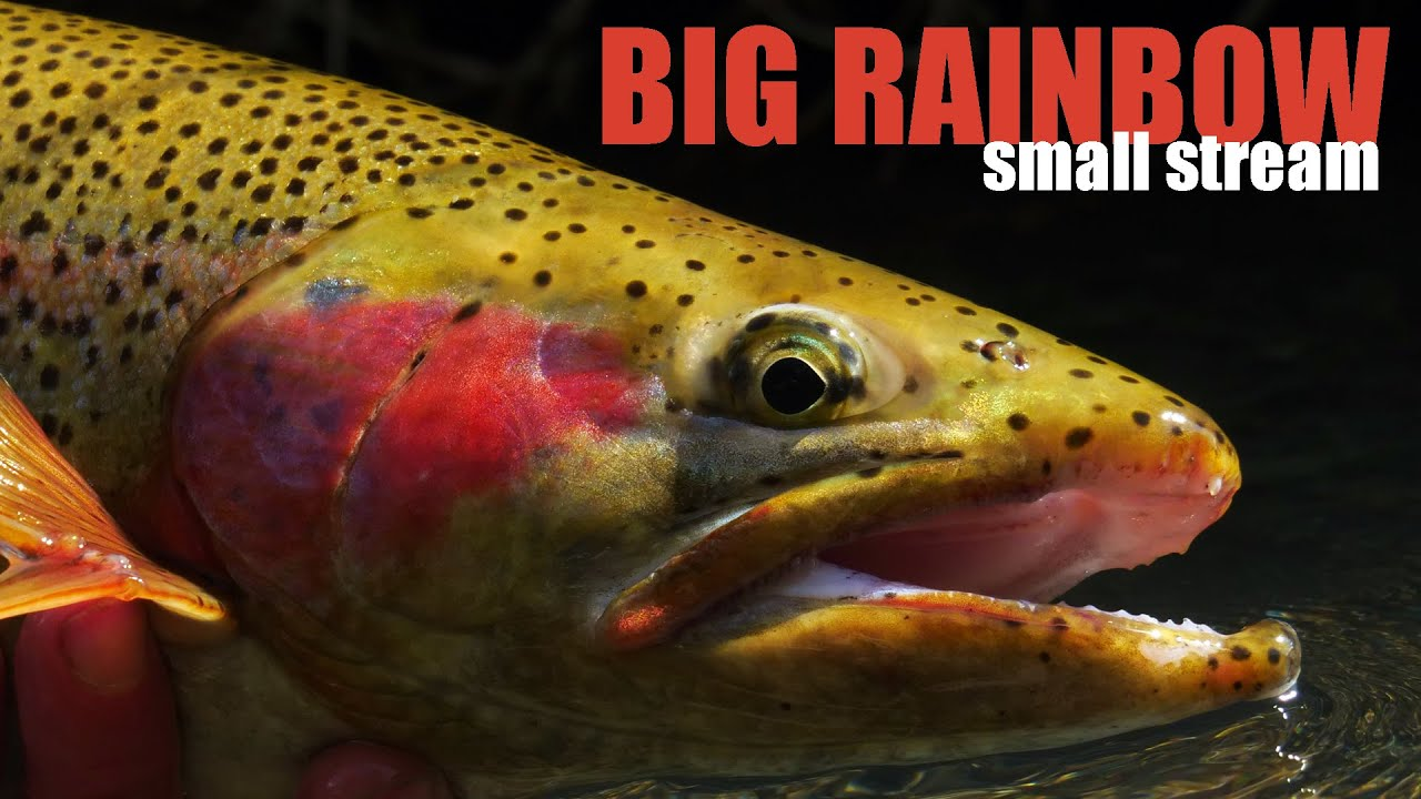 How-to-Hook-amp-Fight-BIG-TROUT-in-SMALL-STREAMS