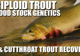 Triploiding-Trout-Alberta-Westslope-Cutthroat-Trout-Recovery-amp-Broodstock-Genetics