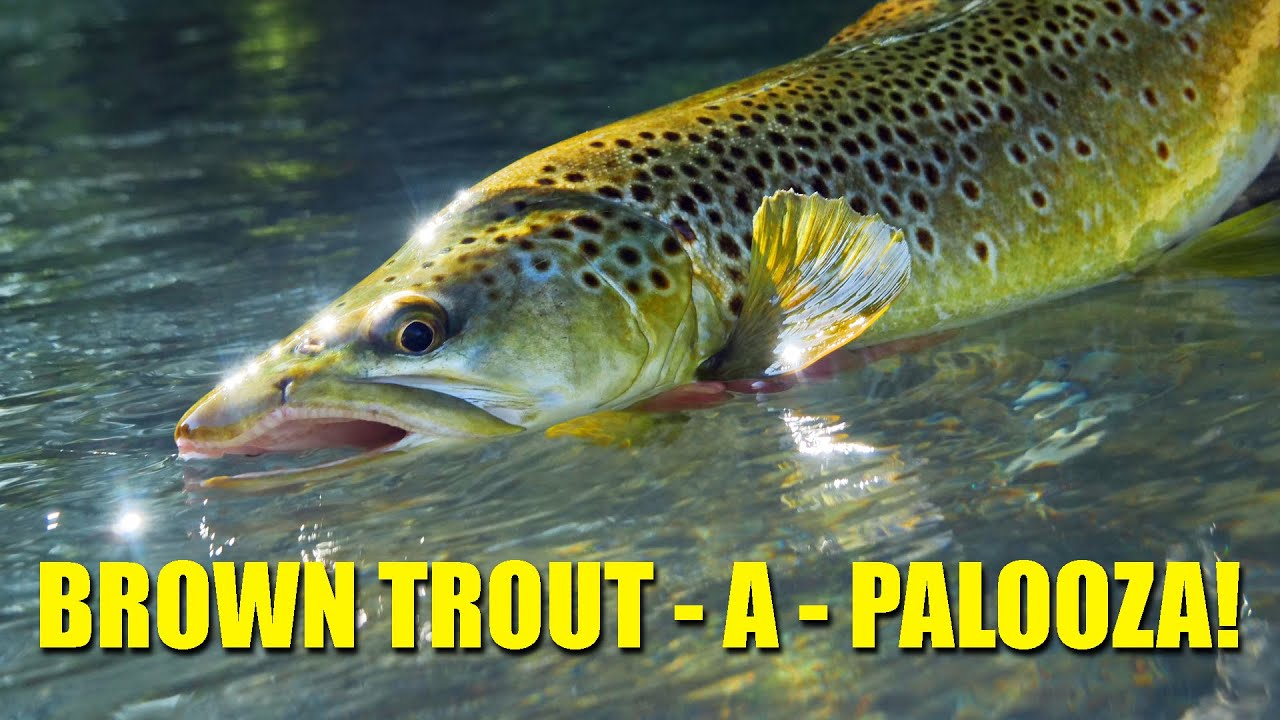 quotBrown-Trout-A-Paloozaquot-one-stunning-day-of-Brown-Trout-Fly-Fishing