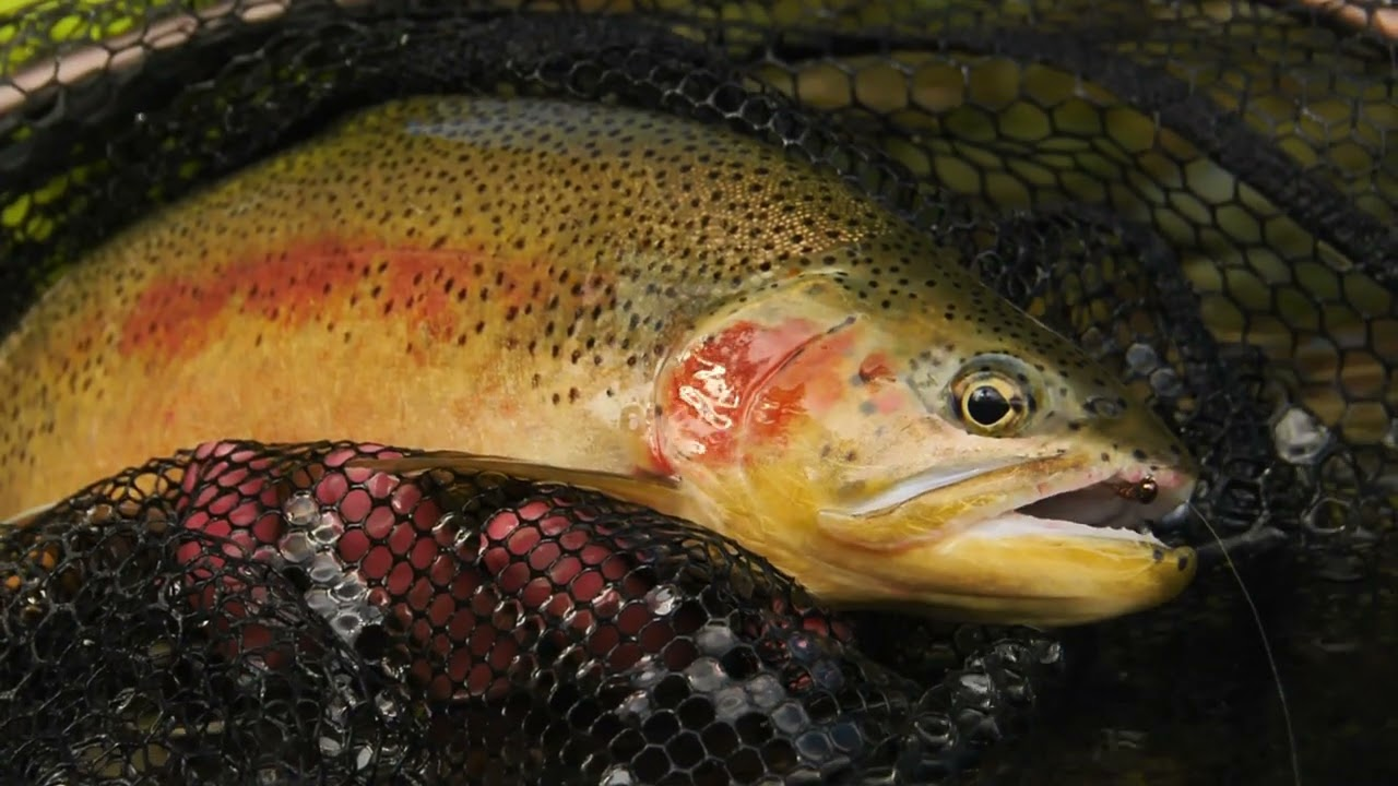 Cutthroat-Trout-Dry-Flies-Droppers-Hits-amp-Misses-Fly-Fishing-Cutthroat-Trout-in-Alberta