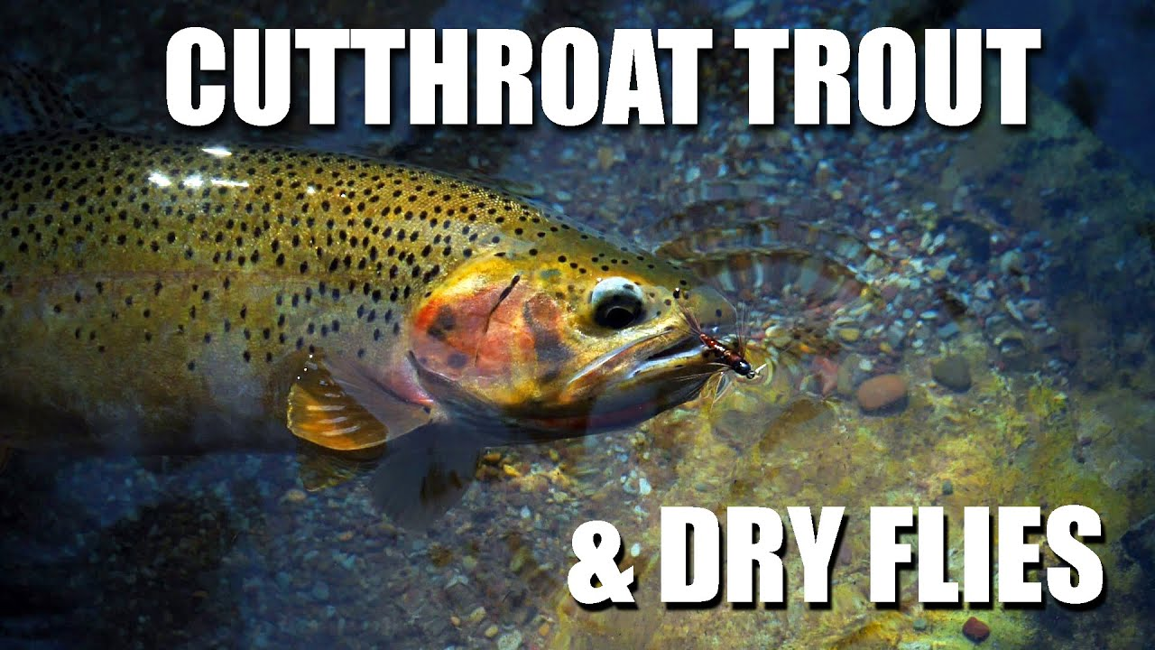 Dry-Fly-Fishing-Cutthroat-Trout-Stunning-Dry-Fly-Fishing-at-the-Peak-of-Summer-in-Alberta