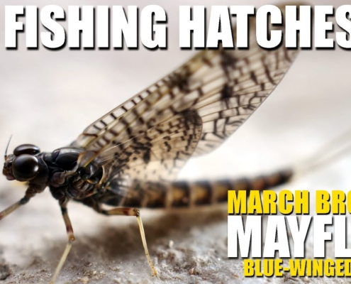 Fly-Fishing-Hatches-March-Brown-amp-Blue-Winged-Olive-Mayflies.-Rising-Rainbow-Trout-on-Dry-Flies