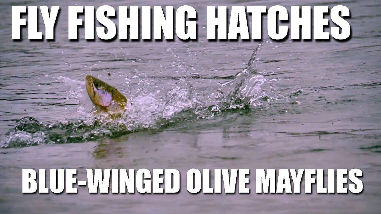 Fly-Fishing-Hatches-Spring-Blue-Winged-Olive-Mayflies.-Dry-Fly-Fishing-Rising-Rainbow-Trout