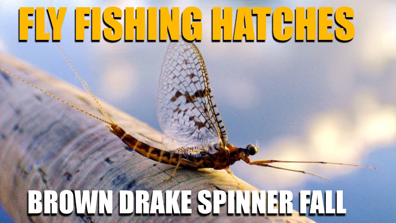 Fly-Fishing-Hatches-2-Nights-Waiting-on-A-Brown-Drake-Spinner-Fall.-Brown-Drakes-amp-Brown-Trout