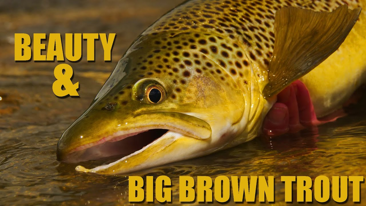 Beauty-amp-Big-Brown-Trout-3-hrs-on-a-Brown-Trout-Stream