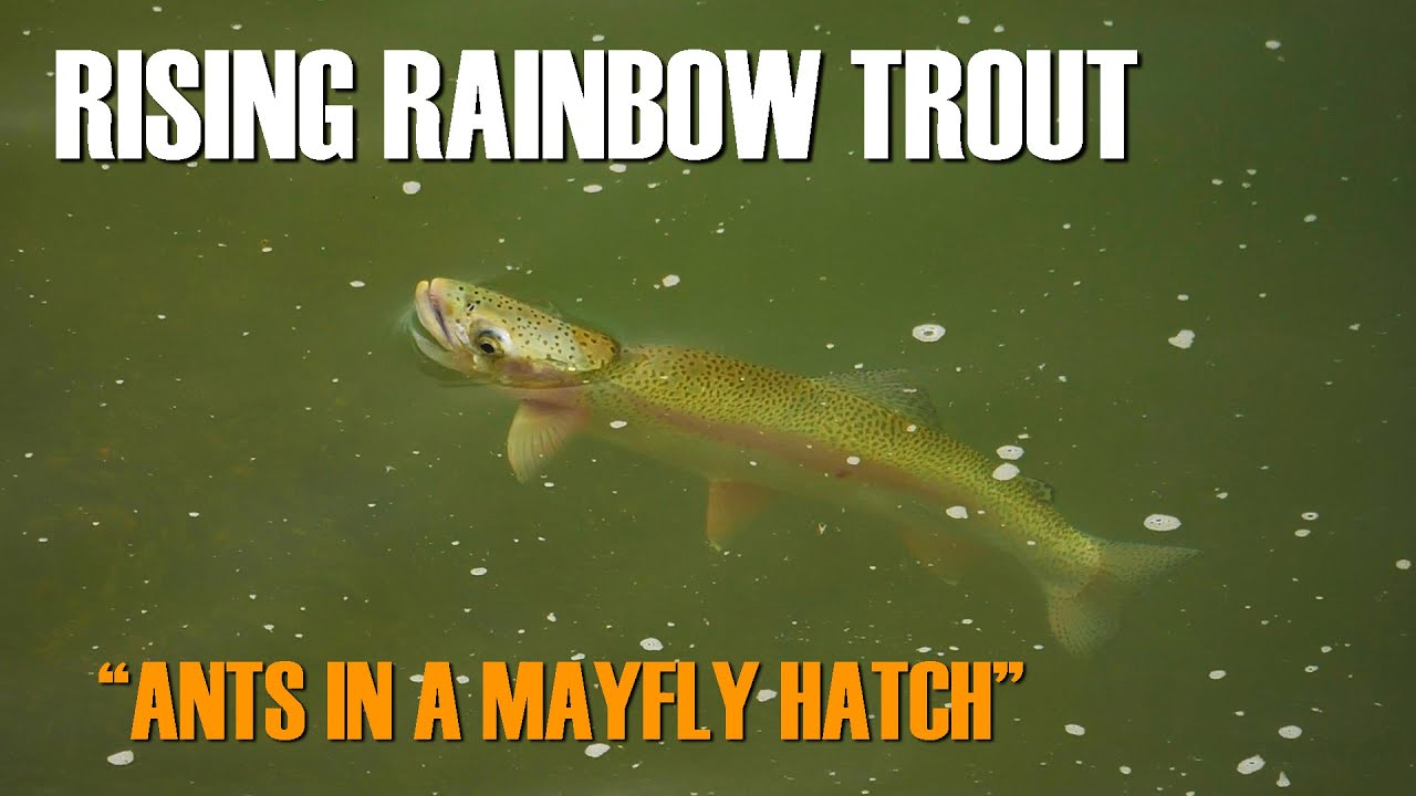 Fly-Fishing-Moments-A-Rising-Rainbow-Trout-amp-Blue-Winged-Olives-amp-Flying-Ants