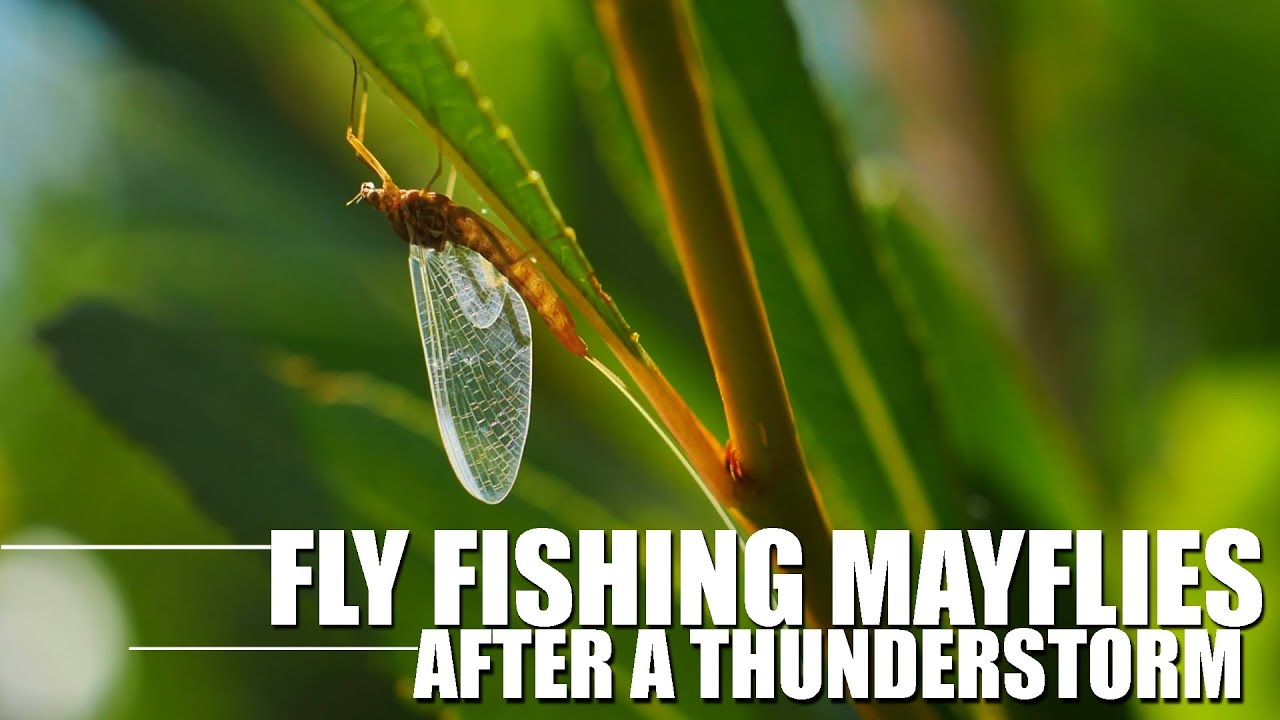 Mayflies-After-the-Storm-Dry-Fly-Fishing-Mayflies-for-Rainbow-Trout-After-a-Thunderstorm